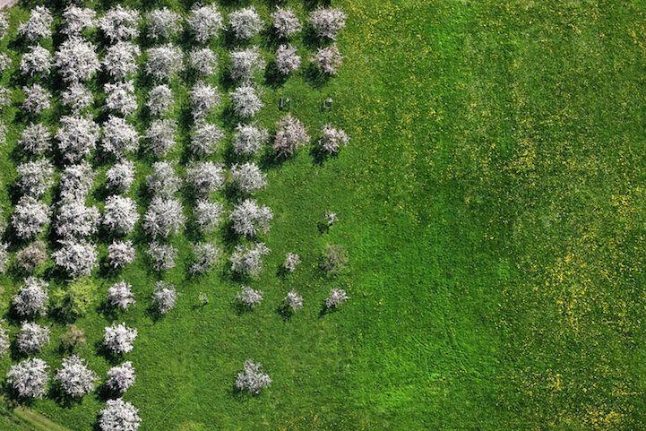 Luftaufnahme von blühenden Obstbäumen auf einer Wiese zwischen Rohrdorf und Riedering