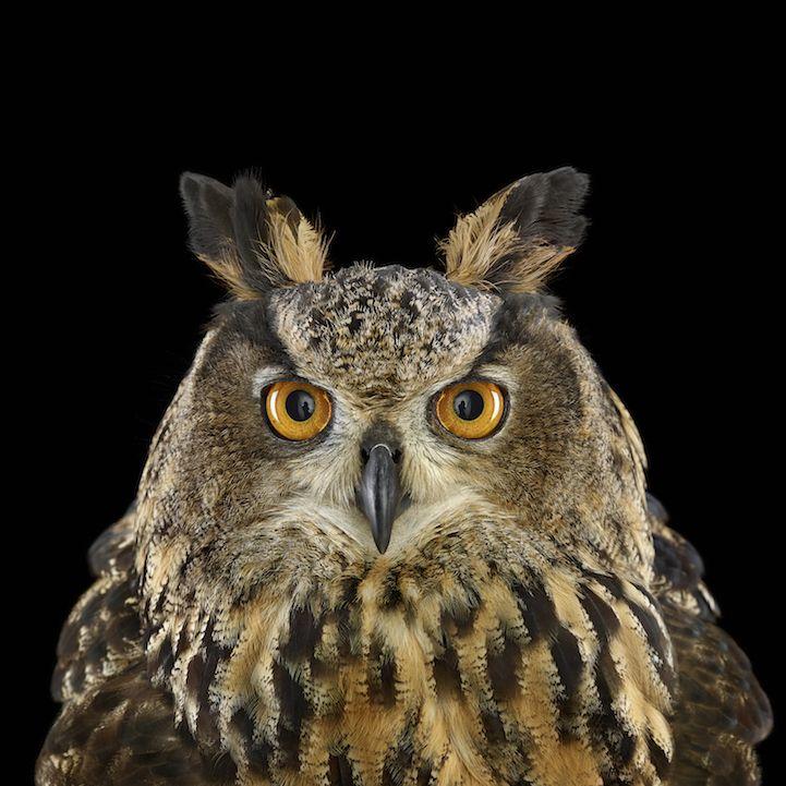 EurasianEagleOwl (1)