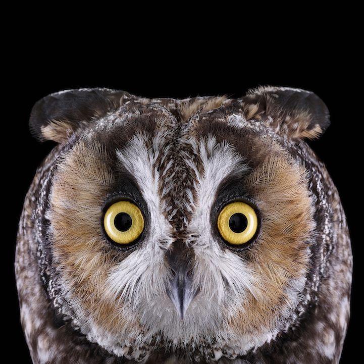 LongEaredOwl