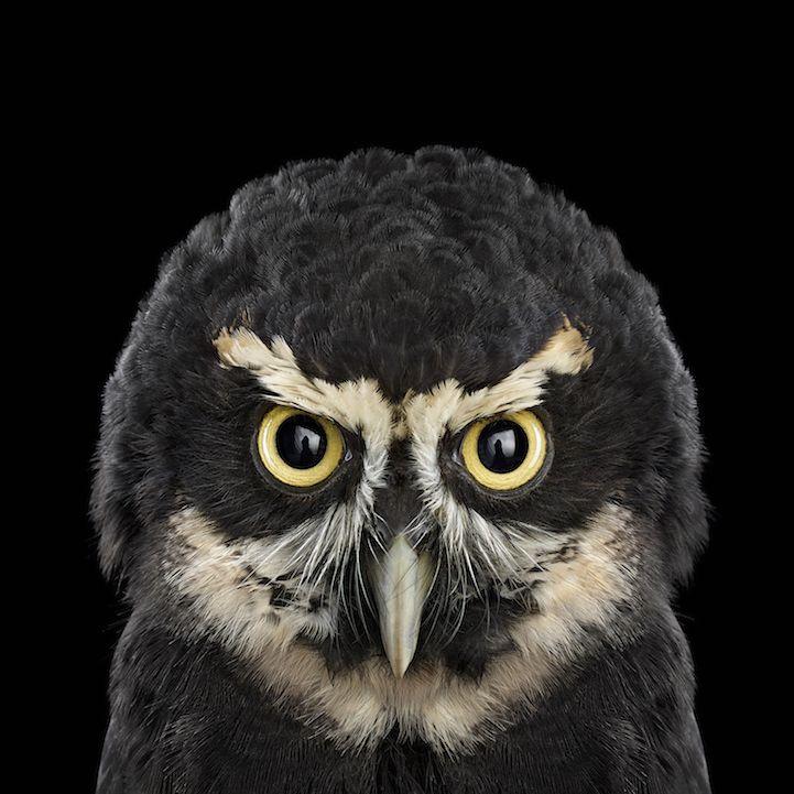 SpectacledOwl